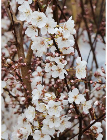 Großfrüchtige Blutpflaume, Prunus cerasifera »Hollywood«, Blütenfarbe weiß