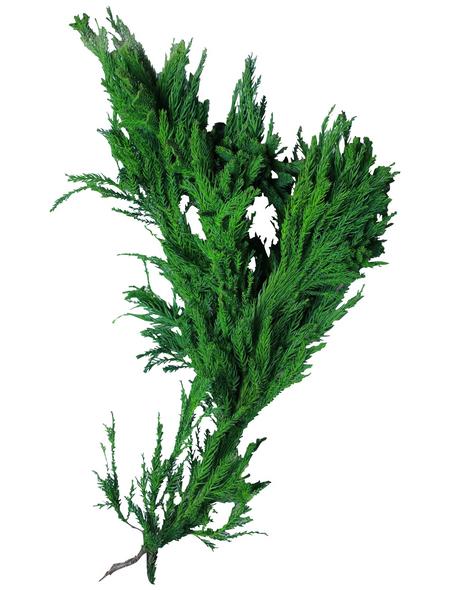 Grün-Blaue Scheinzypressen Bundware glauca Chamaecyparis