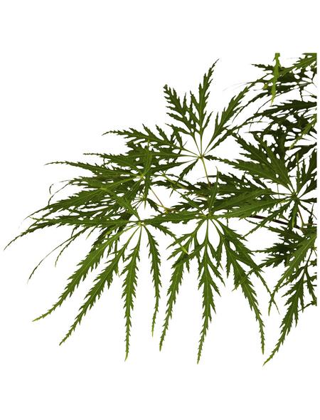 GARTENKRONE Grüner Schlitzahorn Acer palmatum »Dissectum Viridis'«