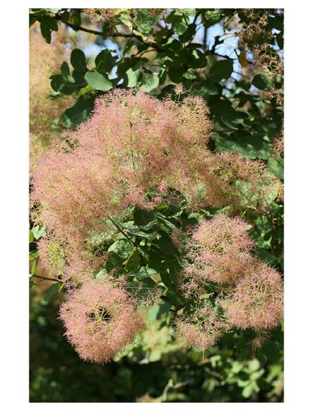 Grünlaubiger Perückenstrauch, Cotinus coggygria »Young Lady«, Blütenfarbe rosa