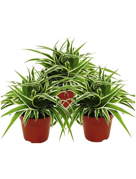 Grünlilie 3er Set Chlorophytum