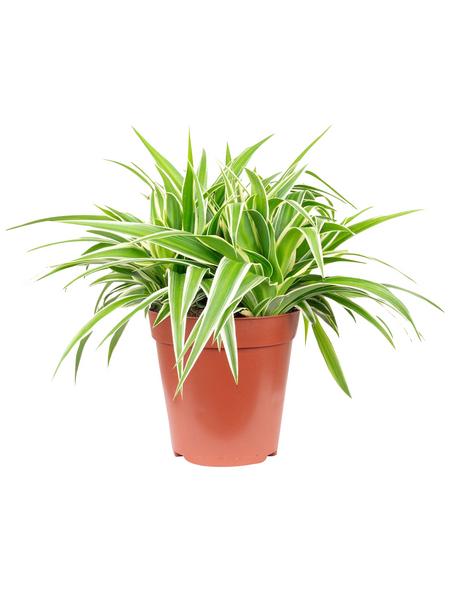 Grünlilie, Chlorophytum comosum
