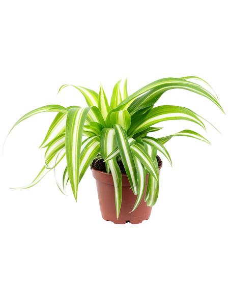 Grünlilie, Chlorophytum comosum »Variegata«, im Kunststoff-Kulturtopf