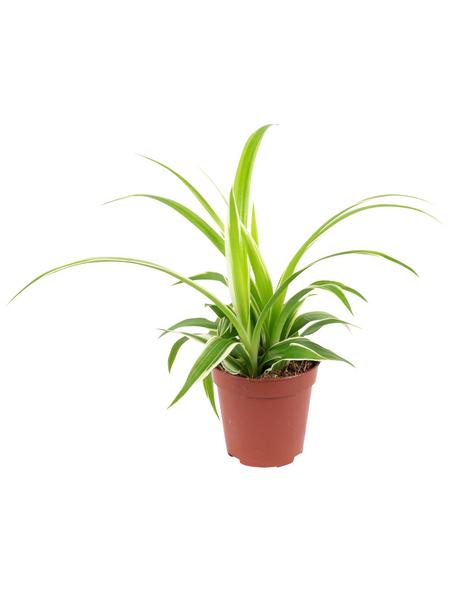 Grünlilie, Chlorophytum, im Topf