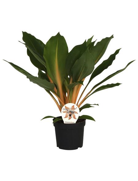 Gruenlilie, Chlorophytum orchidastrum »Green Orange«,
