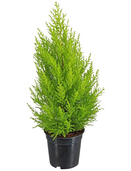 GARTENKRONE Grünpflanze