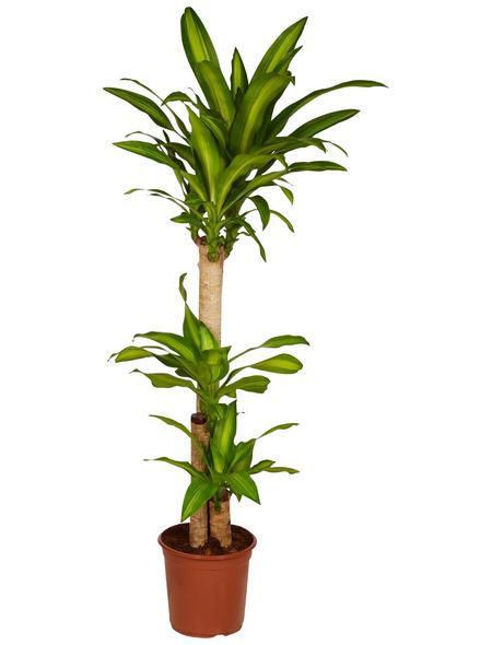 GARTENKRONE Grünpflanze »Drachenbaum«,  aktuelle max. Pflanzenhöhe 130 cm , Topf-Ø 24 cm