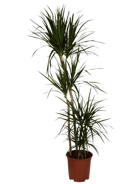 GARTENKRONE Grünpflanze »Drachenbaum«,  aktuelle max. Pflanzenhöhe 155 cm , Topf-Ø 27 cm