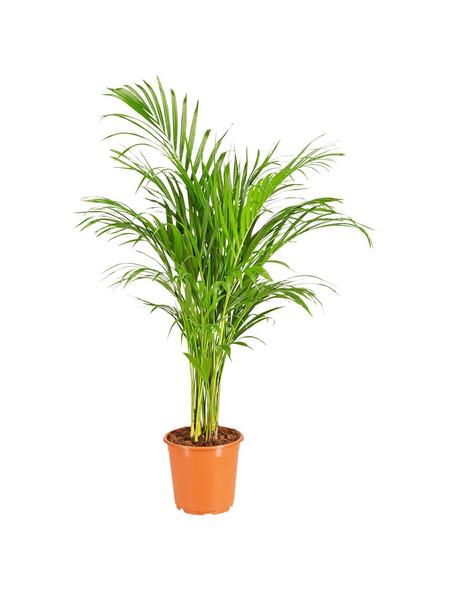 GARTENKRONE Grünpflanze »Goldfruchtpalme«,  aktuelle max. Pflanzenhöhe 120 cm , Topf-Ø 21 cm