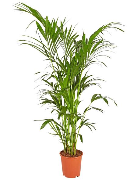 GARTENKRONE Grünpflanze »Kentiapalme«,  aktuelle max. Pflanzenhöhe 160 cm , Topf-Ø 27 cm