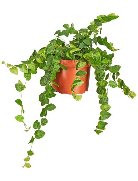 GARTENKRONE Grünpflanze »Kletterfeige«,  aktuelle max. Pflanzenhöhe 10 cm , Topf-Ø 10 cm