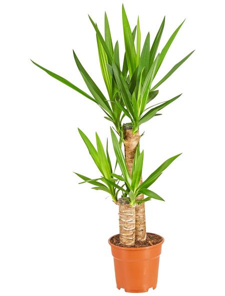 GARTENKRONE Grünpflanze »Yucca-Palme«,  aktuelle max. Pflanzenhöhe 80 cm , Topf-Ø 17 cm
