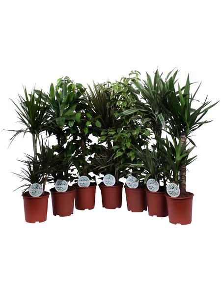 Grünpflanzen Exklusiv, Grünpflanzen Mix »in Sorten«,