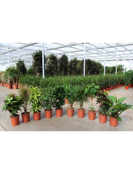 Grünpflanzen, Grünpflanzen Mix »in Sorten«,