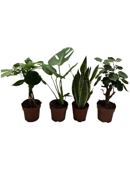 Grünpflanzen Tropic, Grünpflanzen Mix »in Sorten«,