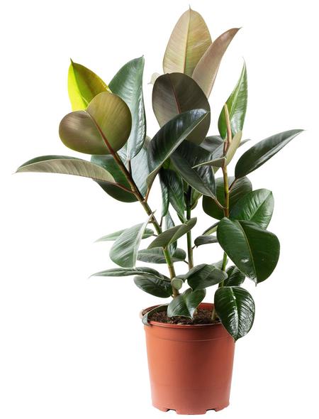 Gummibaum Elastica Ficus »Robusta«