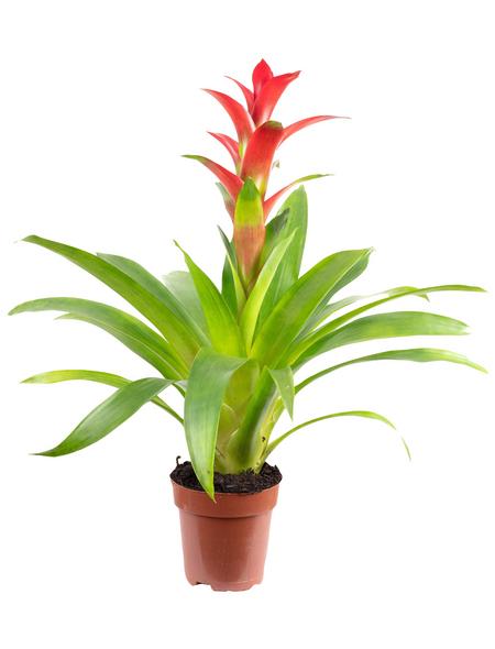 Guzmanie, Guzmania »Optima«, Blüte: rot