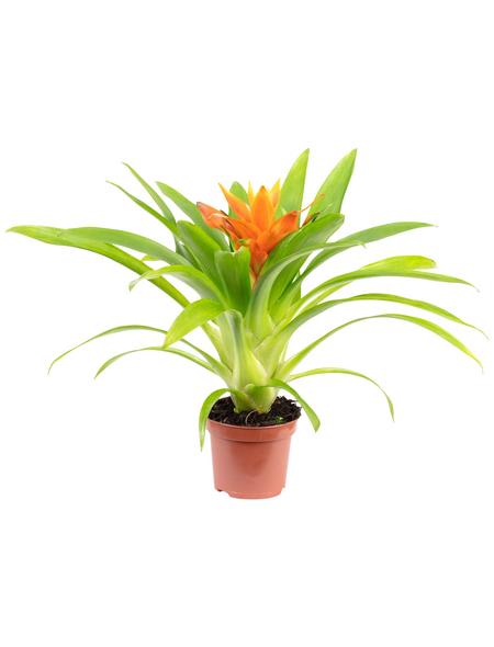 Guzmanie, Guzmania »Ritmo«, Blüte: orange