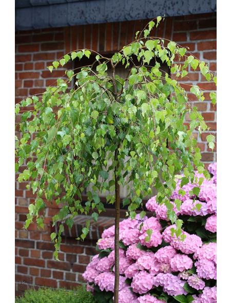 Hängebirke, Betula pendula »Youngii«, Blattfarbe grün