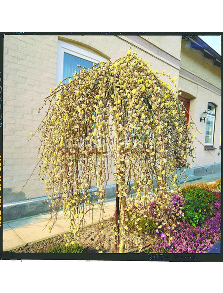 Hängende Kätzchenweide, Salix caprea »Pendula«, Blütenfarbe gelb