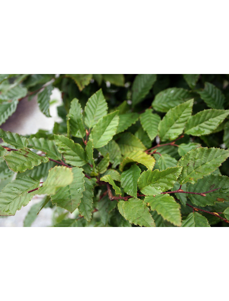 Hainbuche, Carpinus betulus, Lieferhöhe: 60 - 100 cm