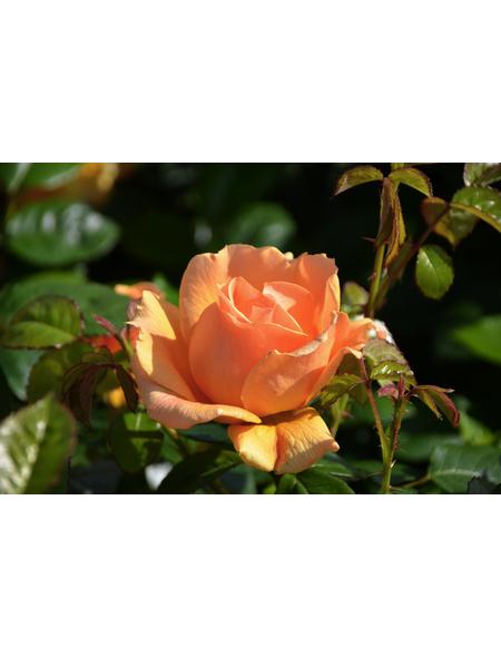 GARTENKRONE Harkness Multibloom Rosen »In Sorten«, Rosa, Blüte: bunt