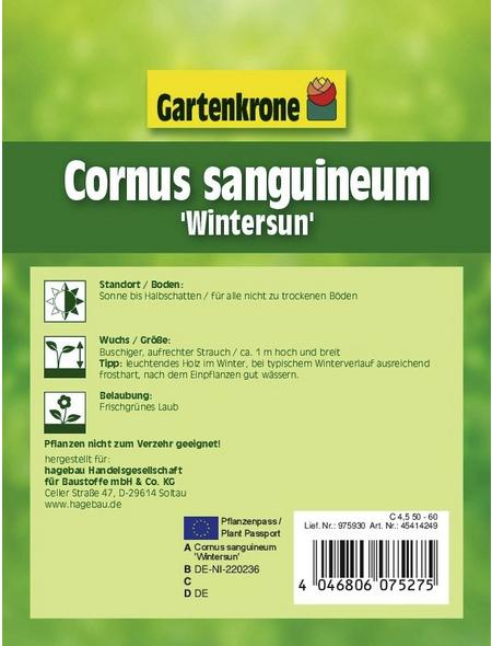 GARTENKRONE Hartriegel, Cornus sanguinea »Wintersun«, weiß, winterhart