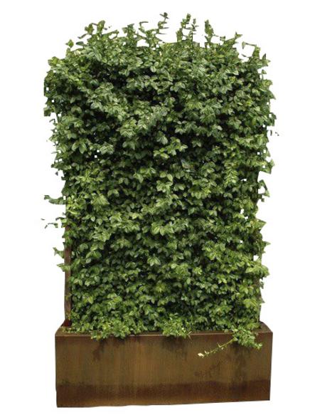 HECKE AM LAUFENDEN METER Hecke am Laufenden Meter - Purpur Kriechspindel, Euonymus fortunei »Coloratus«, Lieferhöhe: 100 cm
