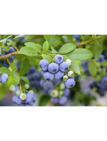 GARTENKRONE Heidelbeere, Vaccinium corymbosum »Bluecrop«, Früchte: blau, essbar