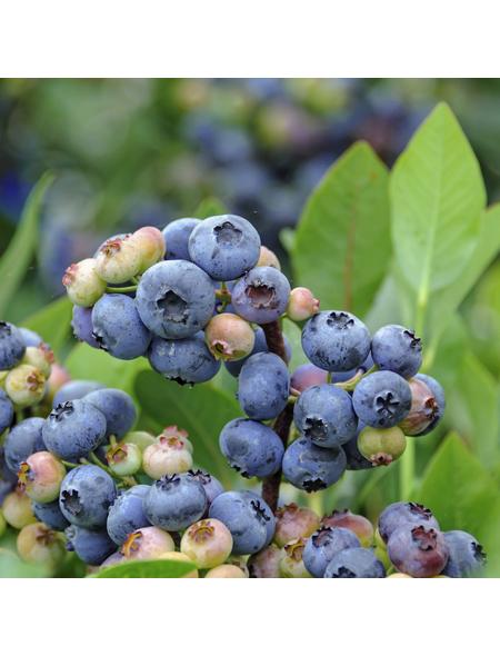 GARTENKRONE Heidelbeere, Vaccinium corymbosum »Goldtraube«, Früchte: blau, essbar