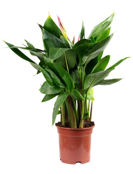 Helikonie, Heliconia psittacorum, Blütenfarbe: gelborange