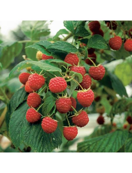 GARTENKRONE Himbeere, Rubus idaeus »Schoenemann«, Früchte: rot, essbar
