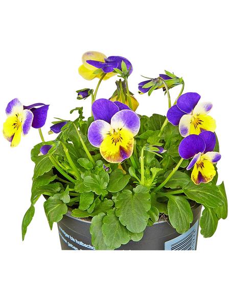 GARTENKRONE Hornveilchen Viola cornuta