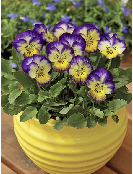 Hornveilchen, Viola cornuta, Höhe bis 20 cm