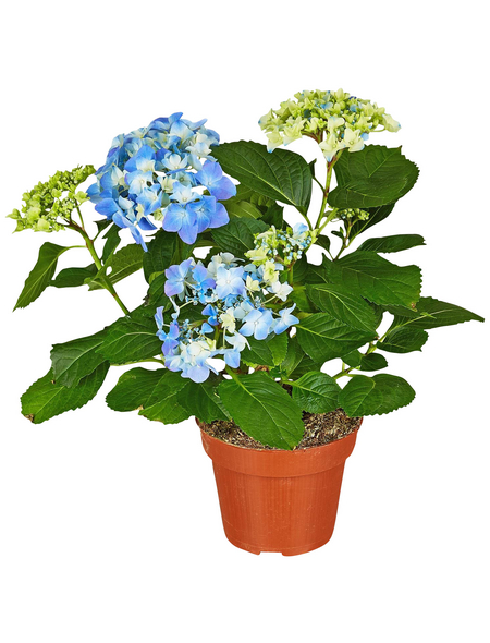 GARTENKRONE Hortensie »Hydrangea Macrophylla«, Blau