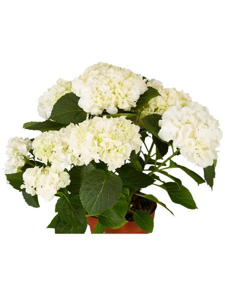 GARTENKRONE Hortensie »Hydrangea Macrophylla«, Weiß