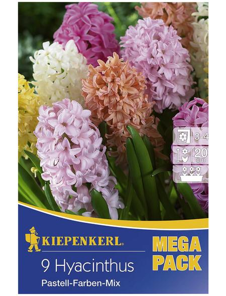 KIEPENKERL Hyazinthe Hyacinthus Hyacinthus orientalis »Hyacinthus orientalis«
