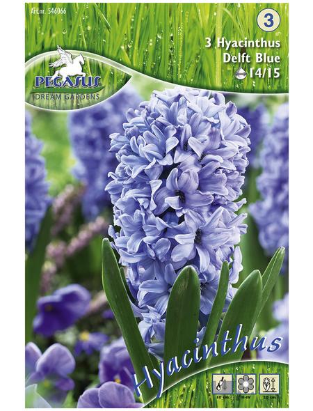 PEGASUS Hyazinthe Hyacinthus orientalis Hyacinthus orientalis »Hyacinthus orientalis«