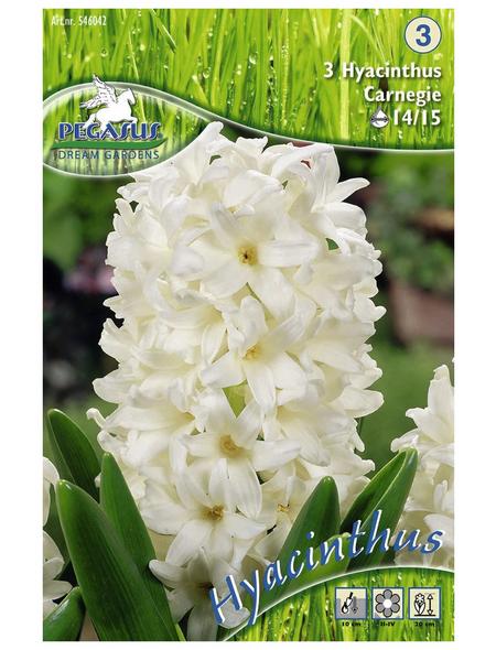 PEGASUS Hyazinthe orientalis Hyacinthus