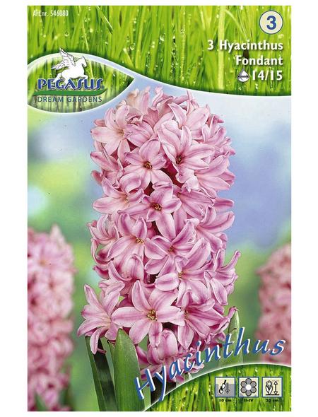 KIEPENKERL Hyazinthe orientalis Hyacinthus