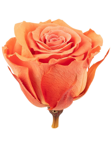 »Infinity-Bloom«, 12er-Pack konservierte Rosenköpfe, orange