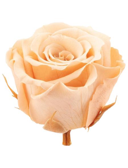 »Infinity-Bloom«, 12er-Pack konservierte Rosenköpfe, rosa