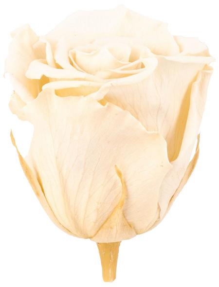 »Infinity-Bloom«, 6er-Pack konservierte Rosenköpfe , beige