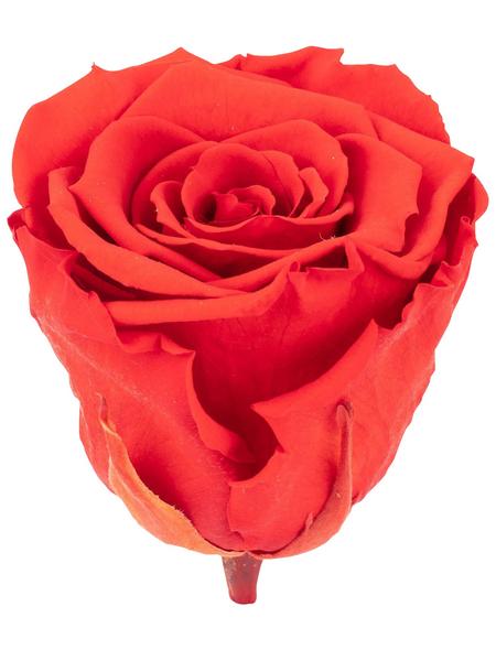 »Infinity-Bloom«, 6er-Pack konservierte Rosenköpfe, orange