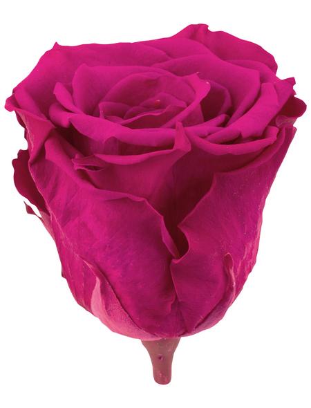 »Infinity-Bloom«, 6er-Pack konservierte Rosenköpfe, rosa