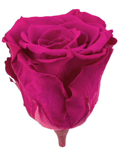Infinity-Bloom  »Infinity-Bloom«, konservierte Rosenköpfe, max. Wuchshöhe: 6,5  cm