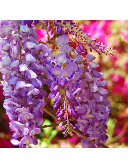 GARTENKRONE Japanischer Blauregen, Wisteria floribunda »Rosea«, Blüten: rosa