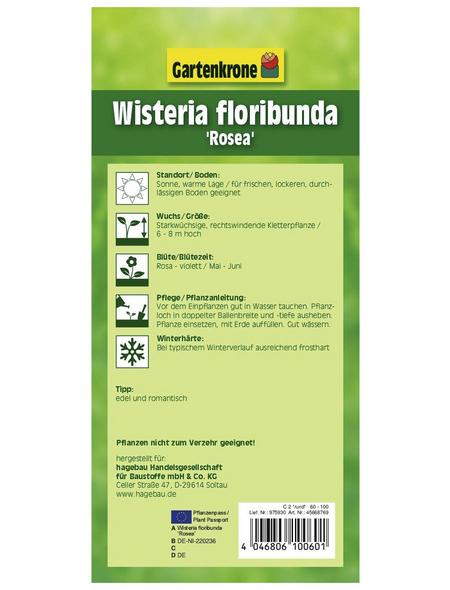GARTENKRONE Japanischer Blauregen, Wisteria floribunda »Rosea«, rosa, winterhart