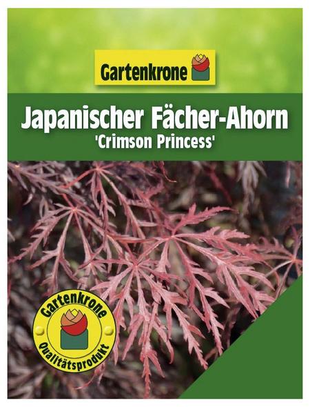 GARTENKRONE Japanischer Fächerahorn, Acer palmatum »Crimson Princess«, Blattfarbe rot