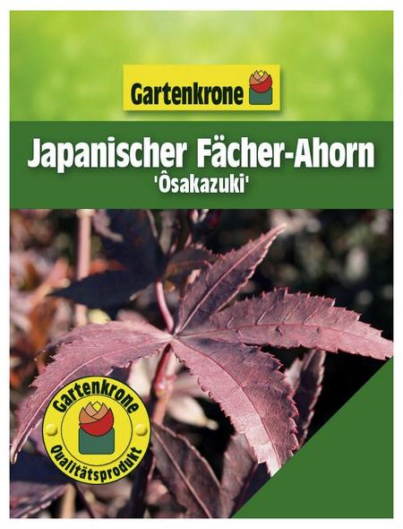 GARTENKRONE Japanischer Fächerahorn, Acer palmatum »Osakazuki«, Blattfarbe grün